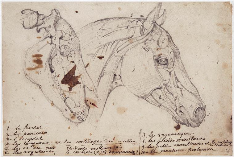 Écorché d'une tête de cheval écorchée, en vue latérale droite, Théodore Géricault, 1815, crayon, Bayonne, musée Bonnat-Helleu.